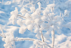 Branches angelica in hoarfrost Royalty Free Stock Photos