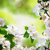 Branches of apple blossom and delicate young leaves. Beautiful s royalty free stock images
