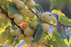 Branches with apple harvest Stock Photography