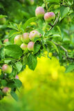 Branches of apple tree with apples forming a frame, royalty free stock images