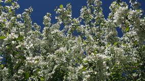 Apple Tree Branches Full Of Blossoming Flowers. The Branches Of The Apple Tree Are Full Of Blooming Flowers.Apple orchard. Full HD stock video