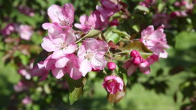 The branches of apple tree with pink flowers. Swing from the wind stock footage