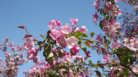 The branches of apple tree with pink flowers swing from the wind stock video