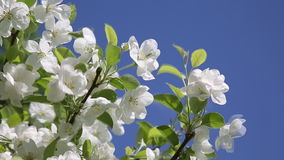 The branches of apple tree with white flowers on blue sky background stock video