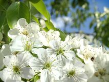 Flowering of apple trees. Royalty Free Stock Photo