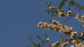 Branches Of Apple Trees Against The Sky. A beautiful apple blossom in the background of a beautiful sky. Apple trees pollinate a large bumblebee. Motion zoom stock video footage