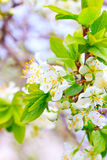 Branches of apple trees in flowers Royalty Free Stock Photography