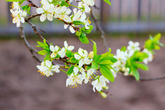 Branches of apple trees in the garden Stock Photography