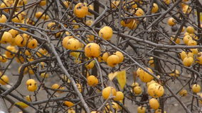 Branches of apple trees swing in the wind stock video