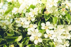 Branches of apple trees with white flowers/ Background from branches of apple trees with white flowers royalty free stock photography