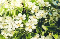 Branches of apple trees with white flowers/ Background from branches of apple trees with white flowers. Springtime stock photography