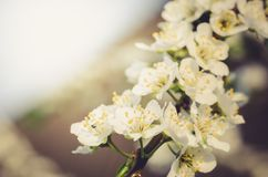 Branches of apple trees with white flowers on blue sky/Spring flowers. Background from branches of apple trees with white flowers royalty free stock photo