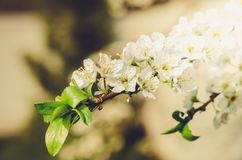 Branches of apple trees with white flowers/Spring flowers. Background from branches of apple trees with white flowers royalty free stock photography