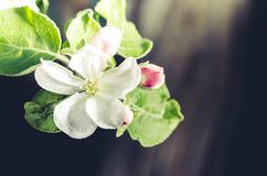 Branches of apple trees with white flowers. Sunny day./ Background from branches of apple trees with white flowers stock image