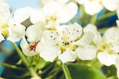 Branches of apple trees with white flowers. Sunny day./ Background from branches of apple trees with white flowers. Springtime stock photo