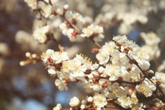Branches of apricot tree flowers. On blurred background Royalty Free Stock Photography