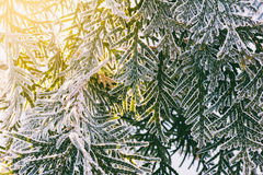 Branches arborvitae covered with frost and illuminated by the morning sun. Arborvitae branches covered with frost and illuminated by the morning sun Royalty Free Stock Images