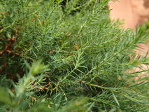 Branches arborvitae. A lot of green branches arborvitae Royalty Free Stock Images