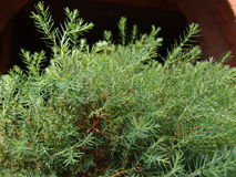 Branches arborvitae. A lot of green branches arborvitae Stock Photo