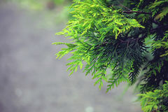 Branches arborvitae, thuja evergreen Royalty Free Stock Photography