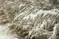Branches arborvitae under snow. An effect is applied Royalty Free Stock Photo