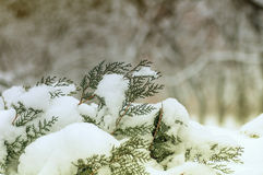 Branches arborvitae under snow. An effect is applied Royalty Free Stock Photos