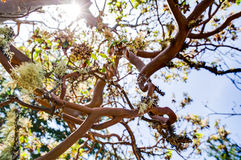Branches of an arbutus tree Stock Photos