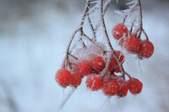 Branches ash berry covered snow and hoar-frost. Frosty evening in winter forest Stock Photos