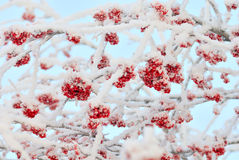 The branches of ashberry under snow like sweeties Royalty Free Stock Image