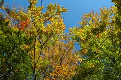 Branches and autumn leaves Royalty Free Stock Images