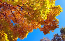 Branches of autumn maple tree with bright yellow foliage against blue sky background royalty free stock image