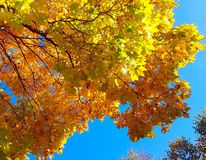 Branches of autumn maple tree with bright yellow foliage against blue sky background stock photos