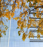 Branches of autumn tree on background of modern office building Royalty Free Stock Photos