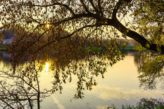 Branches of Autumn Tree Hanging over River Stock Image