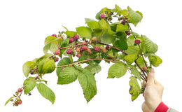 Branches of autumn wild forest raspberries Royalty Free Stock Photo