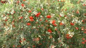 Branches avec des baies d'une cendre de montagne rouge banque de vidéos