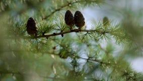 Branches avec des cônes de graine et aiguilles sur l'arbre de mélèze s'élevant dans la forêt banque de vidéos