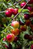 Branches avec des cerise-prunes image libre de droits