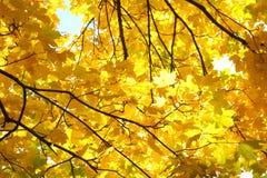 Branches avec des feuilles d'érable d'automne images stock