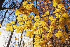 Branches avec des feuilles d'automne dans les rayons du soleil Images stock