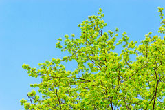 Branches avec des feuilles de ressort images libres de droits