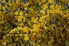 Branches avec des fleurs de forsythia Intermedia Spectabilis photo stock