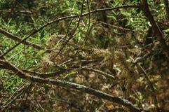 Branches avec des lichens sur un chemin de saleté à travers la forêt photos libres de droits