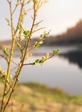 Branches avec des reins et de jeunes feuilles vertes photo libre de droits