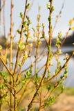 Branches avec des reins et de jeunes feuilles vertes images libres de droits