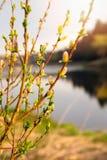 Branches avec des reins et de jeunes feuilles vertes image stock