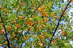 Branches avec l'élevage de fruit jaune mûr de prune de cerise dans le jardin photographie stock