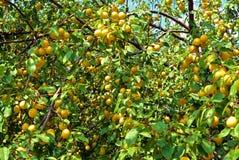 Branches avec l'élevage de fruit jaune mûr de prune de cerise dans le jardin Images libres de droits