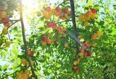 Branches avec le fruit rouge jaune non mûr de prune de cerise dans le jardin Photographie stock libre de droits