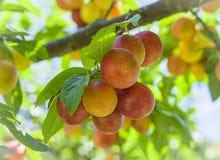 Branches avec le fruit rouge jaune non mûr de prune de cerise dans le jardin Images stock